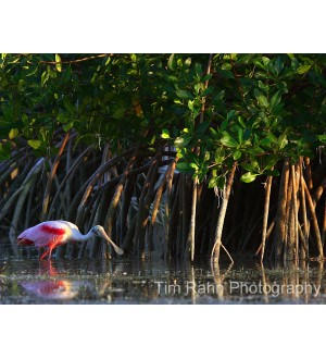 Spoonbill in the Mangroves